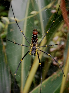 the largest web spinning spider in the world, and a common sight on Taiwan's hiking trails