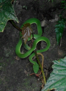 a bamboo viper, seen along the trail near Neidong Falls in Wulai