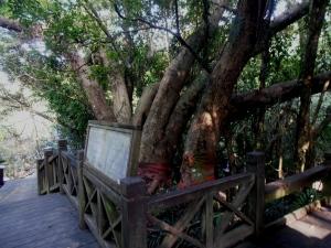 Cising Sacred Tree