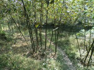 going through a bamboo farm