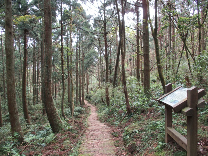 Japanese cedars