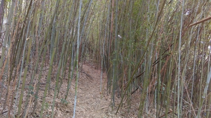 cutting through the bamboo