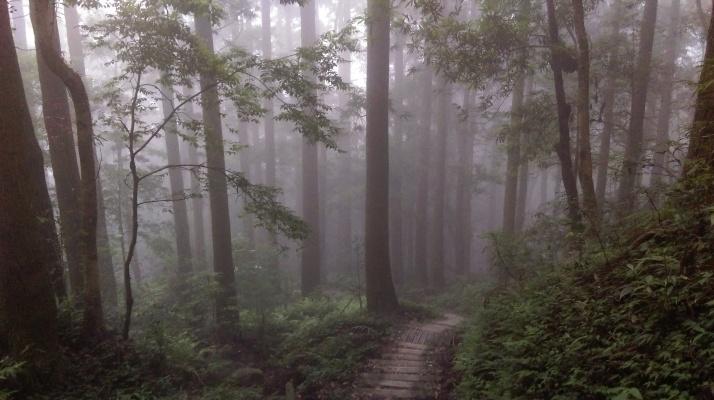 wooden steps descending through Japanese cedars