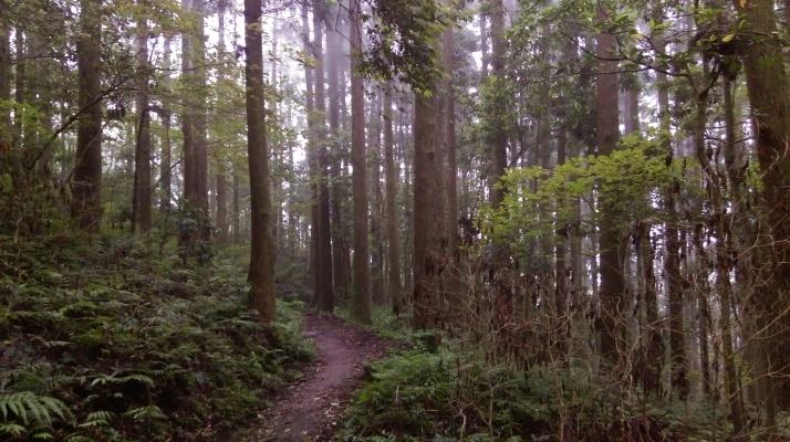 flat trail through more Japanese cedars